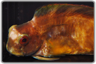 Big Golden Sailfin Blenny